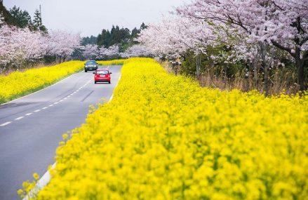 Những điểm tổ chức lễ hội hoa cải nổi bật ở Hàn Quốc